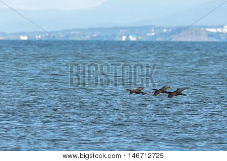 Flock of pelagic cormorant flying over the Pacific Ocean.