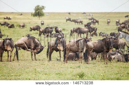 wildebeest group in nature. migration in wildlife