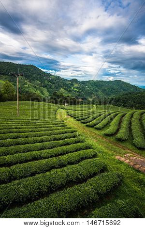 The green tea plantation on the mountains in Doi Mae Salong of Chiangrai province the northern part of Thailand.