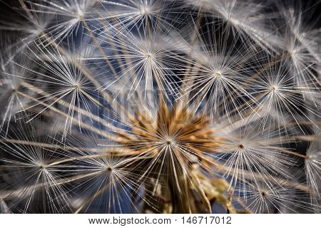 Striking Closeup Of A Dandelion Head Against A Blue And Black Background