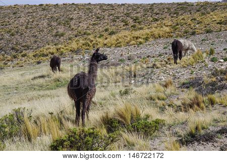 Alpaca in Andes mountains platea near Arequipa Per
