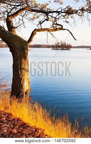 Yellow aok trees on Svet Pond embankment in Trebon, South Bohemia, Czech republic