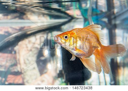 Beautiful Fish Swim In A Home Aquarium
