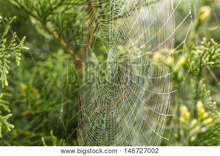 Fine Cobweb Between The Bushes