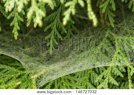 Very Fine Cobweb Between The Bushes