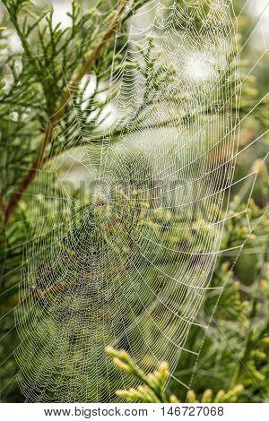 Very Fine Cobweb