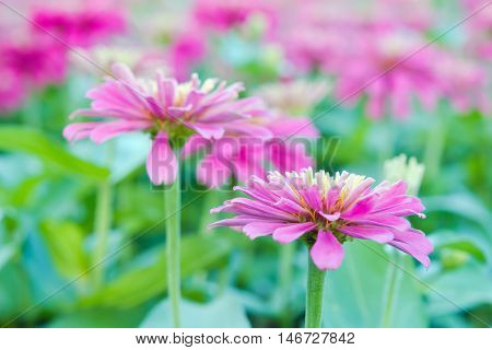 Hybrid Aster Flower In Flowerbed Garden Sirikit National Garden, Bangkok Thailand