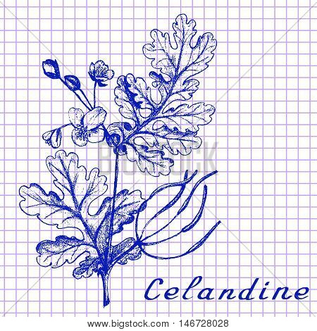 Greater celandine. Botanical drawing on exercise book background. Vector illustration. Medical herbs