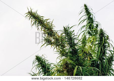 Cultivated hemp in field industrial marijuana growth