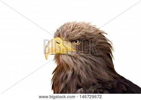Big Sea Eagle (haliaeetus Albicill)