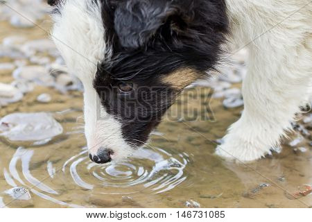 Small Border Collie Puppy On A Farm, Drinking From A Pool