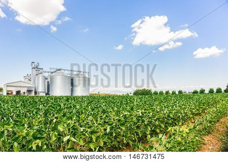 Soybean Field In A Sunny Day
