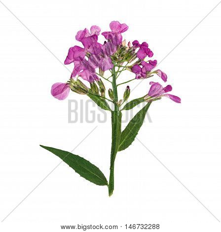 Pressed and dried flowers hesperis. Isolated on white background. For use in scrapbooking floristry (oshibana) or herbarium.
