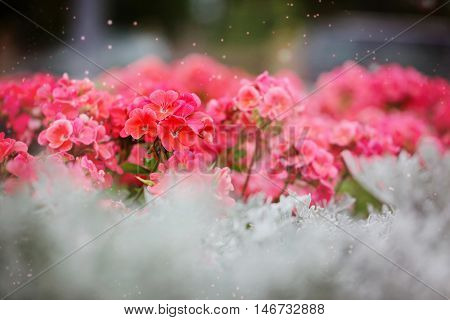 Beautiful bed with pink flowers of the Geranium Pelargonium . Natural Background.Selective focus. Soft focus.