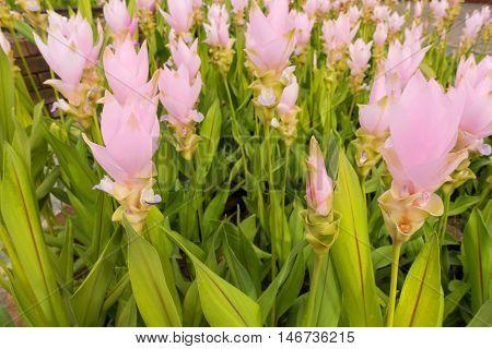 Siam tulip on field Pink siam tulip.