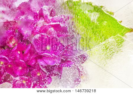 Beautiful Hydrangea Flower, Frozen In Clear Ice