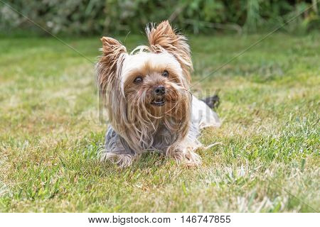 Front view of the Yorkshire Terrier lying on the lawn