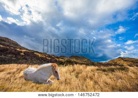 The yellow grass rests a white horse. Strong winds of Patagonia. Chile, Patagonia, Torres del Paine National Park - Biosphere Reserve