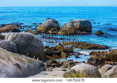 Large rocks and seaweed on the beach of Atlantic Ocean. African black-white penguins. Boulders Penguin Colony in the South Africa. The concept of ecotourism