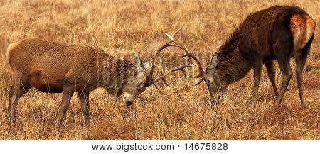 Wild Red Deer Stags.