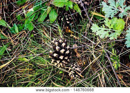 Fir cones on the grass pine, floor, cone, grass, green,