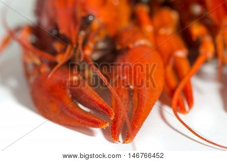maco Boiled crayfish on isolate white background, claws in focus