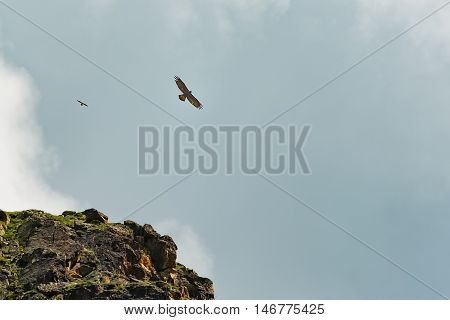 An endangered bearded vulture (Gypaetus barbatus)with the small flying in the Swiss alps