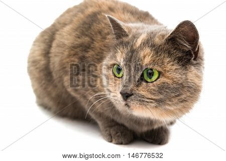 Close-up portrait of mixed breed cat isolated on white background