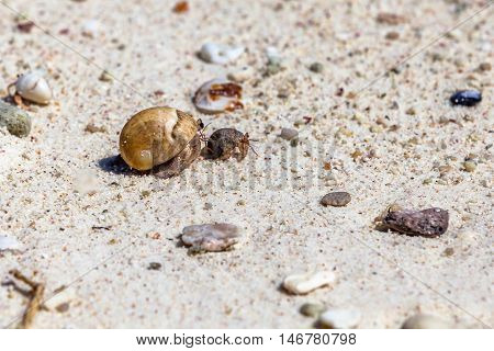 Hermit crabs on the beach, small and big one, as mother and puppy. Phuket, Racha Noi in Thailand.