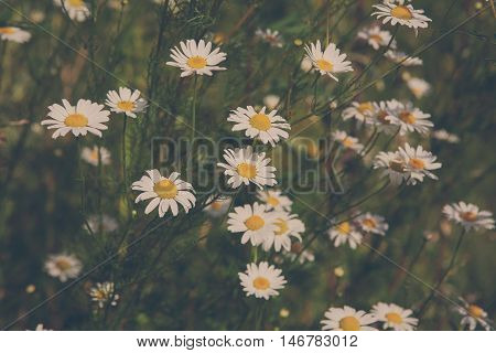Beautiful field with white daisy flower background. Bright chamomiles or camomiles meadow. Summer in the garden. Square image, soft toning
