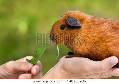 hands feeding guinea pig on green blurred background