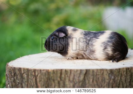 adorable guinea pig posing outdoors in summer