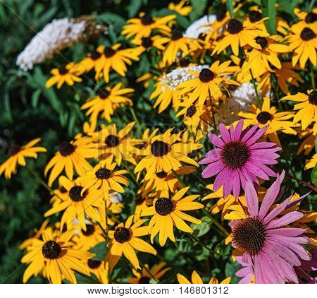 Vivid colored echinacea and rudbeckia or black eyed susans, in the late summer garden.