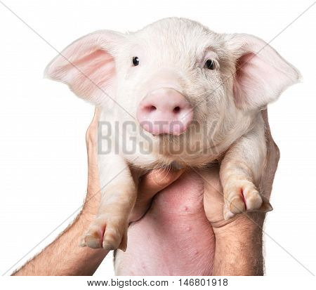 Hands Holding a Pinky Piglet in the Air