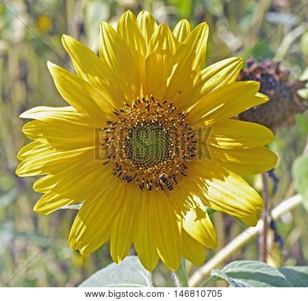 A Vibrant Yellow Dwarf Sunflower Head in full bloom