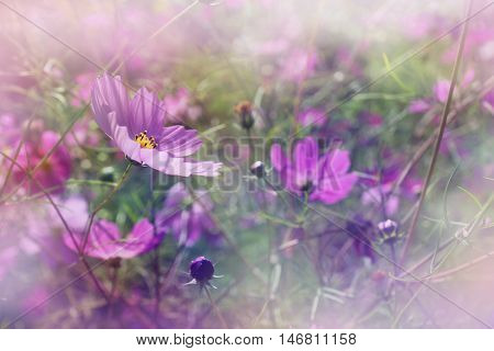 shallow DOF cosmos flowers background - purple flowers among grass in the garden