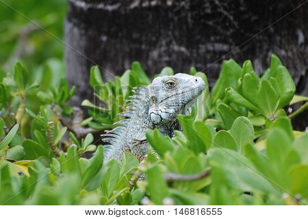 Green iguana sitting in the top of a bush.