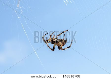 Cross spider (Araneus diadematus) - garden spider on the spiderweb. Cross spider is hunting in his web in Island Silba - Croatia.