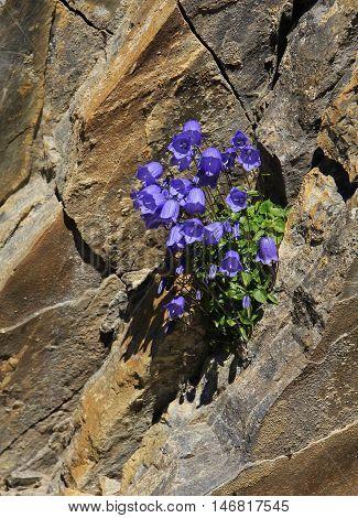 Wildflowers growing on a rock on Mt Niesen Switzerland. Alpine bellflowers.