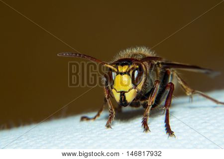 European hornet is a very large wasp