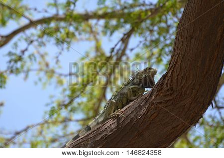 Iguana making his way up a tree trunk.