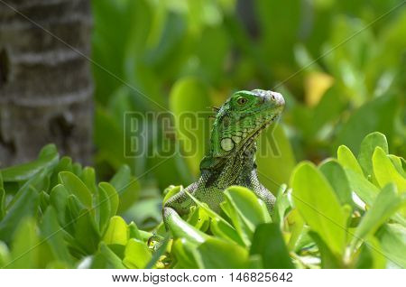 Small green iguana perched in the top of a green shrub.