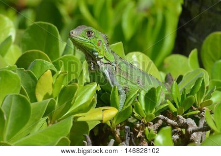 Common iguana perched in the tops of green shrubbery.