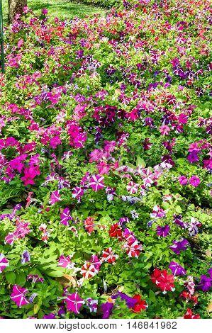 close up beautiful petunia flower in nature garden