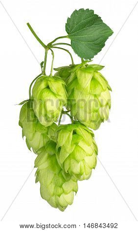 twig of hop isolated on white background. Beer hops ingredient. Branch of fresh hops cones isolated on a white background