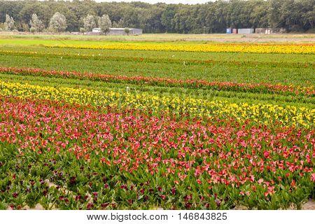 Calla Garden Field Cultivation