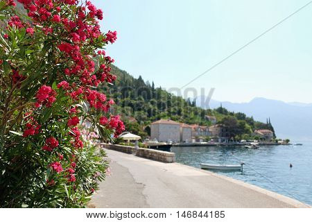 Oleander flowers in town of Perast Kotor Bay Montenegro