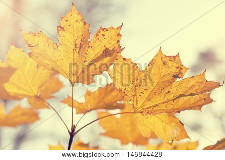 Autumn maple leaves toned in warm colors