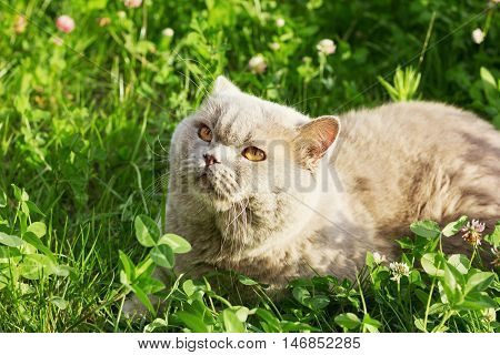 Lilac british cat sitting on a floral green meadow and basking in the sun.