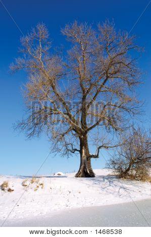 Huge Tree On Winter Lake Shore